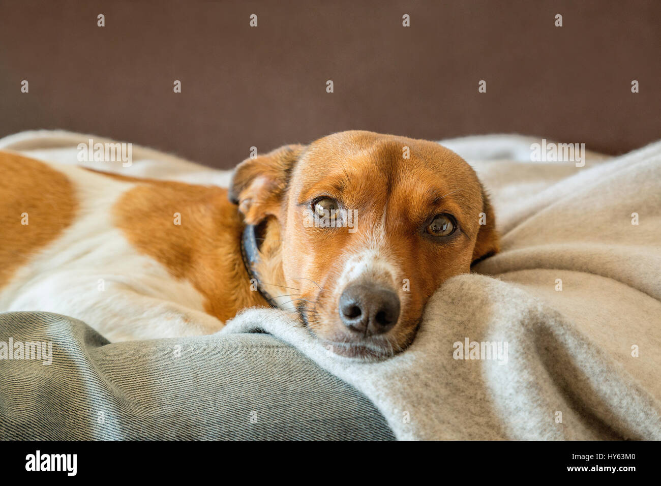 Relaxing mixed breed dog on a blanket - Stock Image