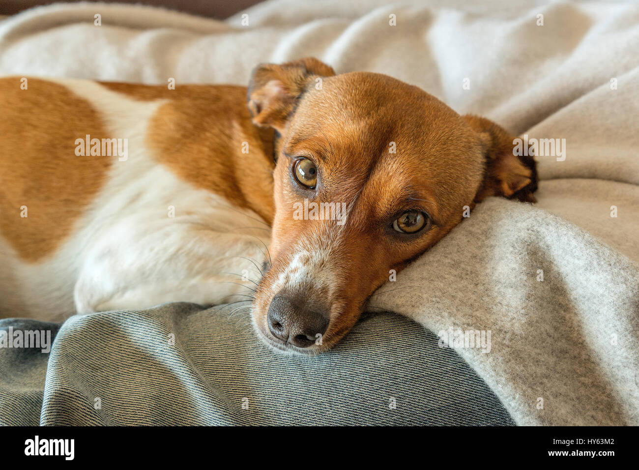 Relaxing mixed breed dog - Stock Image
