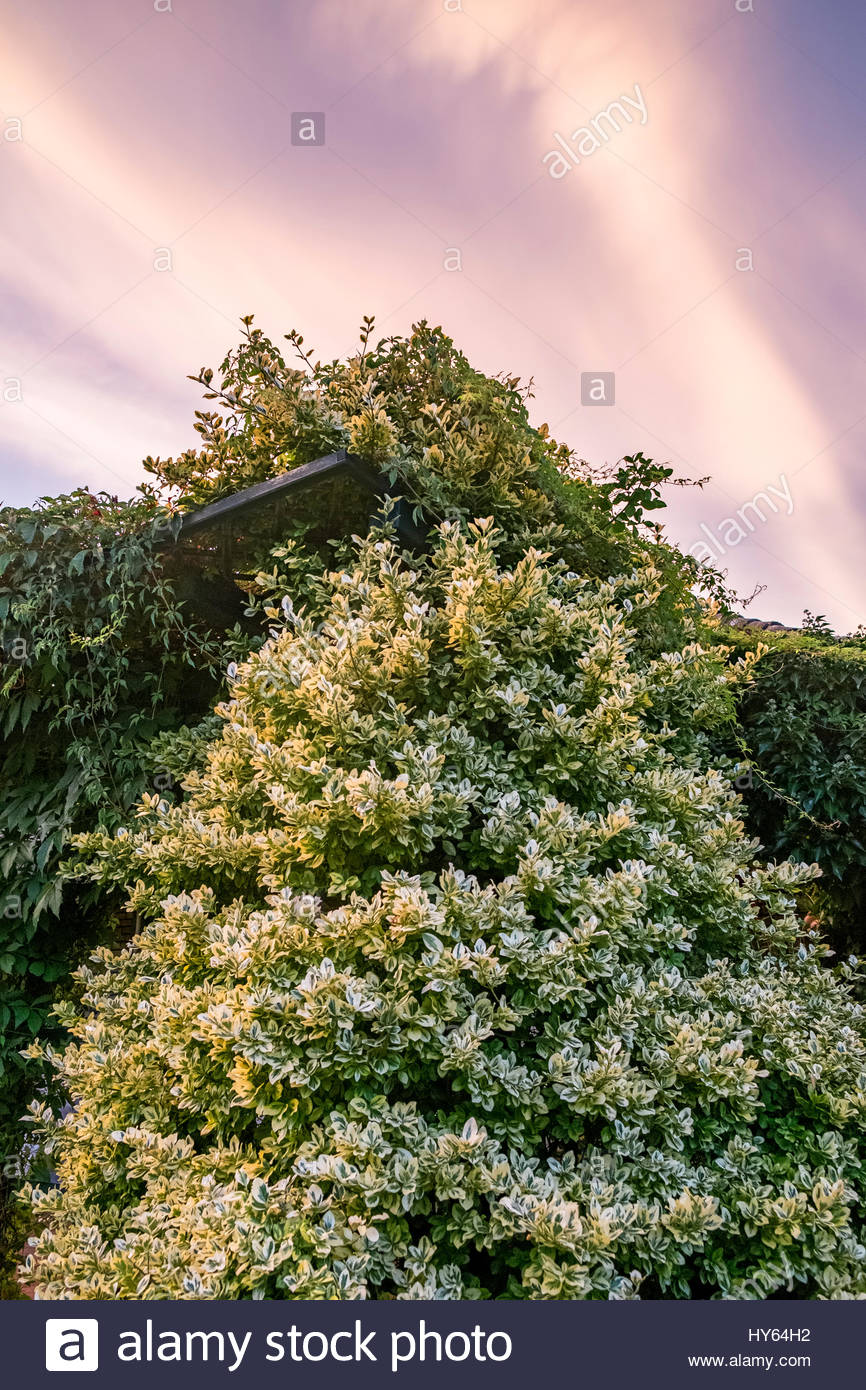 Euonymus fortunei  (Fortune's spindle, winter creeper) climbs on a pergola in sun on a late summer afternoon. - Stock Image