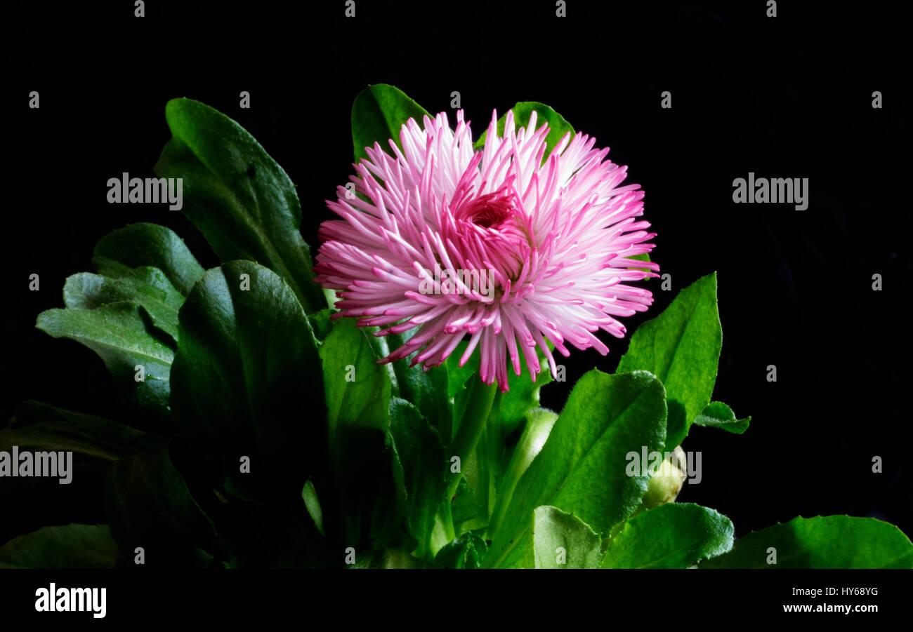 Pink daisy flower head on black background bellis perennis pink daisy flower head on black background bellis perennis english daisy asteraceae macro izmirmasajfo