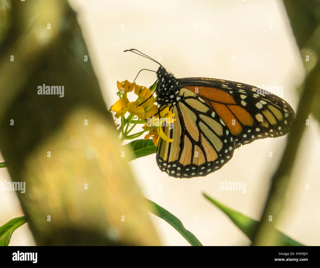 Monarch butterfly feeding on milkweed flowers - Stock Image
