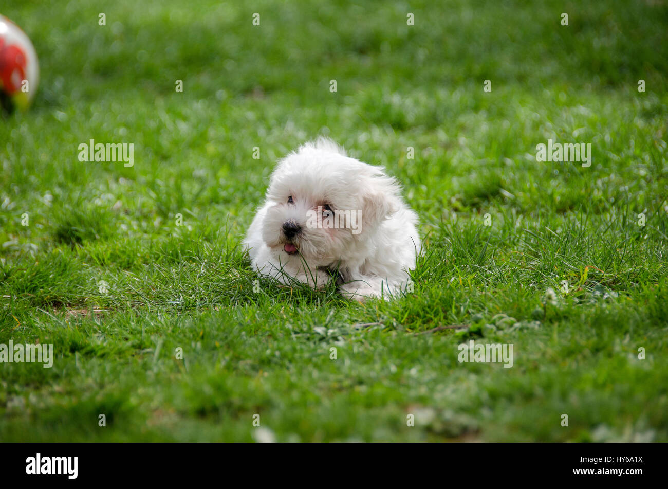 Cute puppy - Maltese dog breed - Stock Image