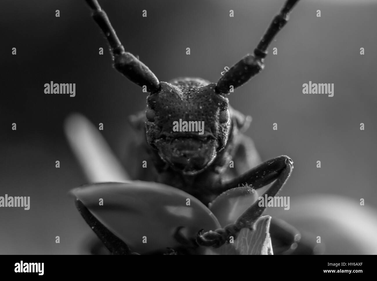 Brown beetle on leaf macro shot in black and white. - Stock Image