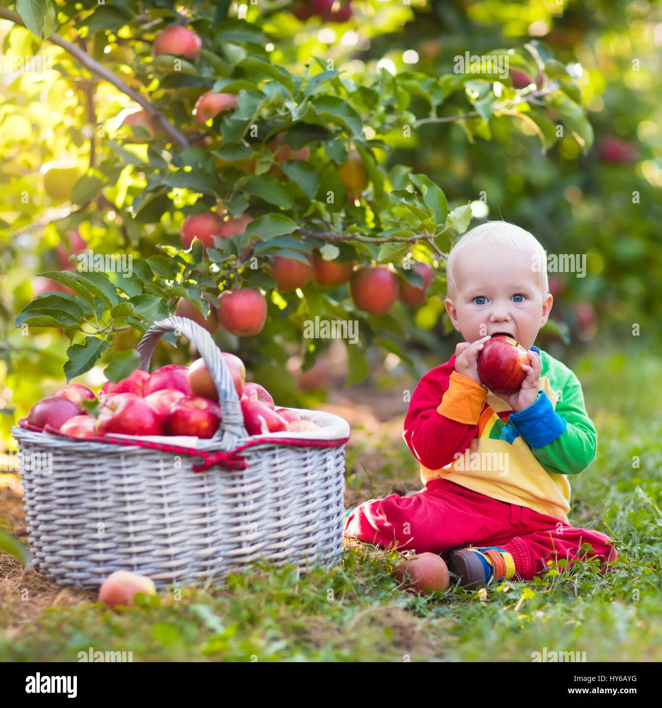 child picking apples on a farm in autumn. little baby boy playing in