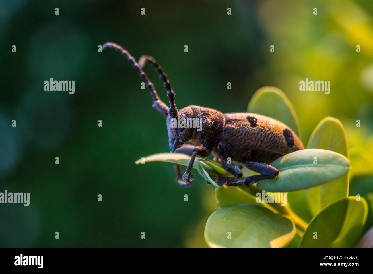 Brown beetle on leaf macro shot in color. - Stock Image