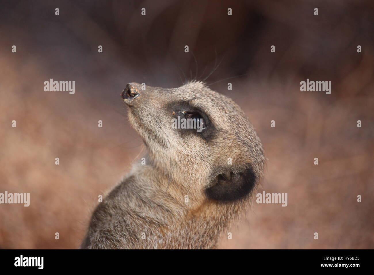 Up where? Meerkat at West Midland Safari park . - Stock Image