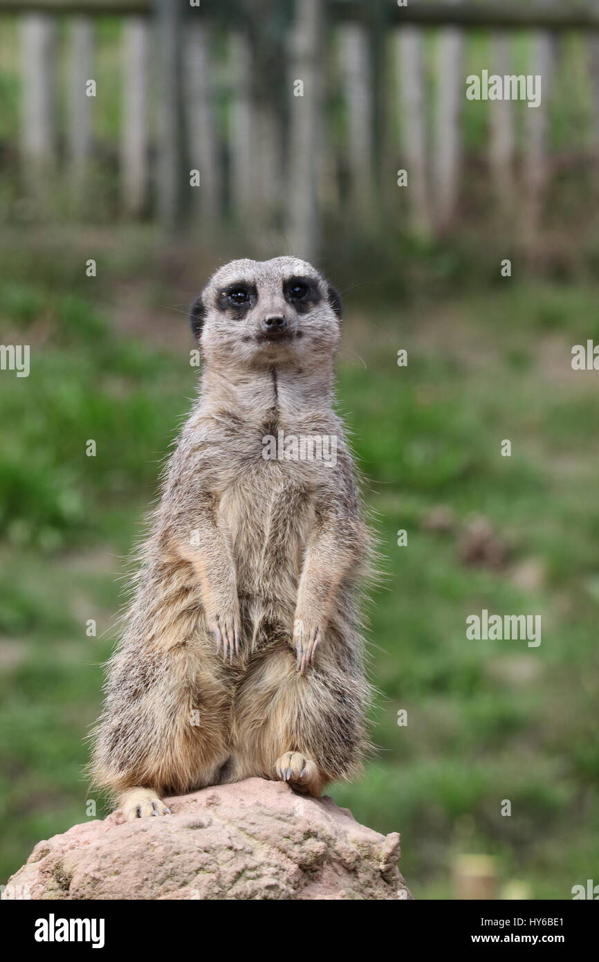 I'm still standing - Meerkat at west Midlands safari park - Stock Image