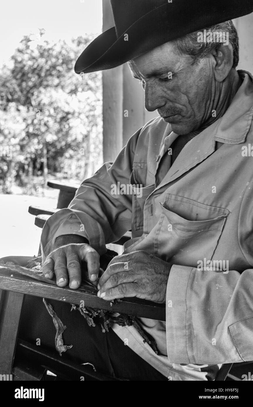 Cuban tobacco farmer rolls tobacco leaves into cigars in his home in Vinales Valley, Cuba. - Stock Image