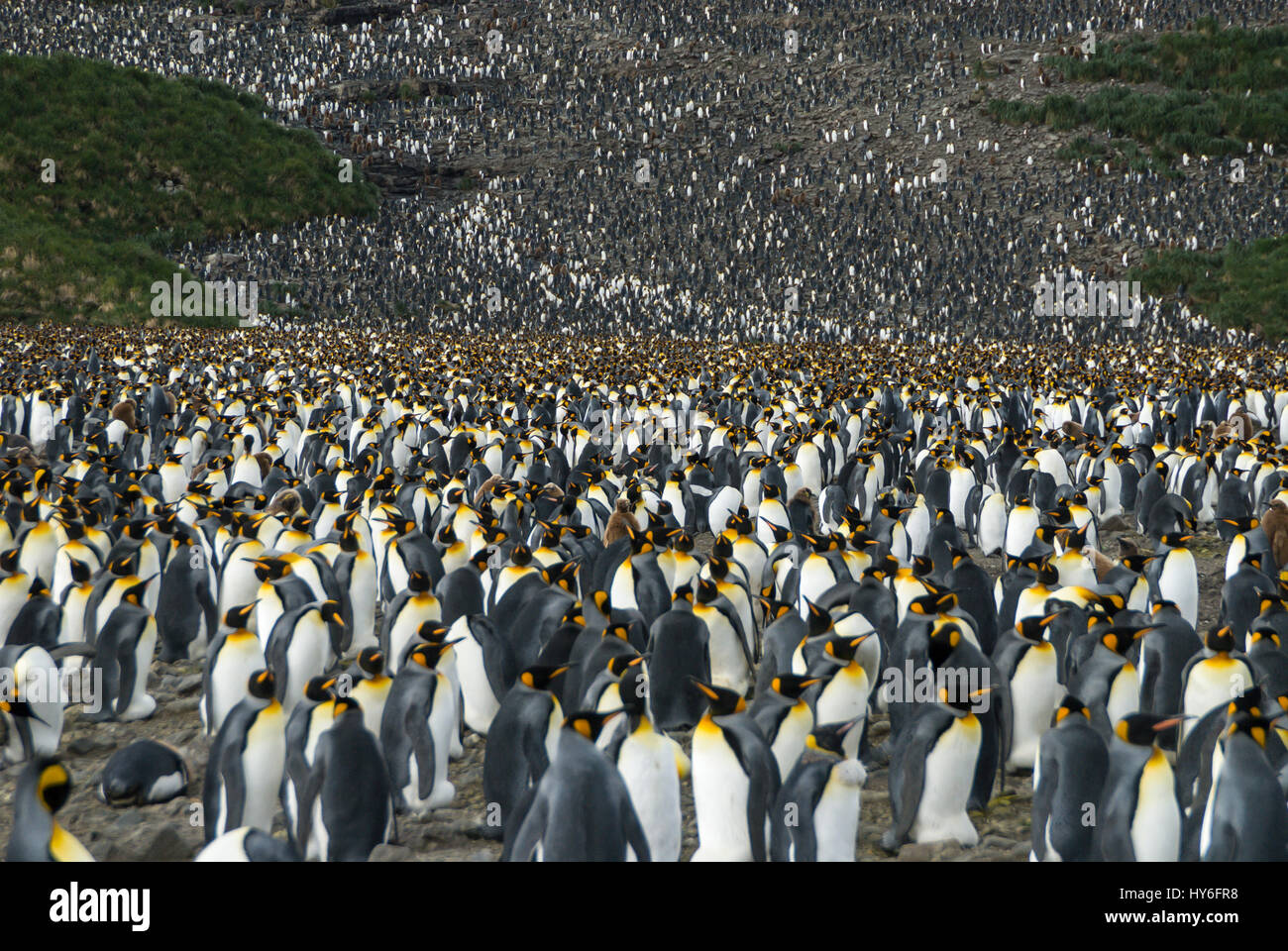 King penguins colony at South Georgia - Stock Image