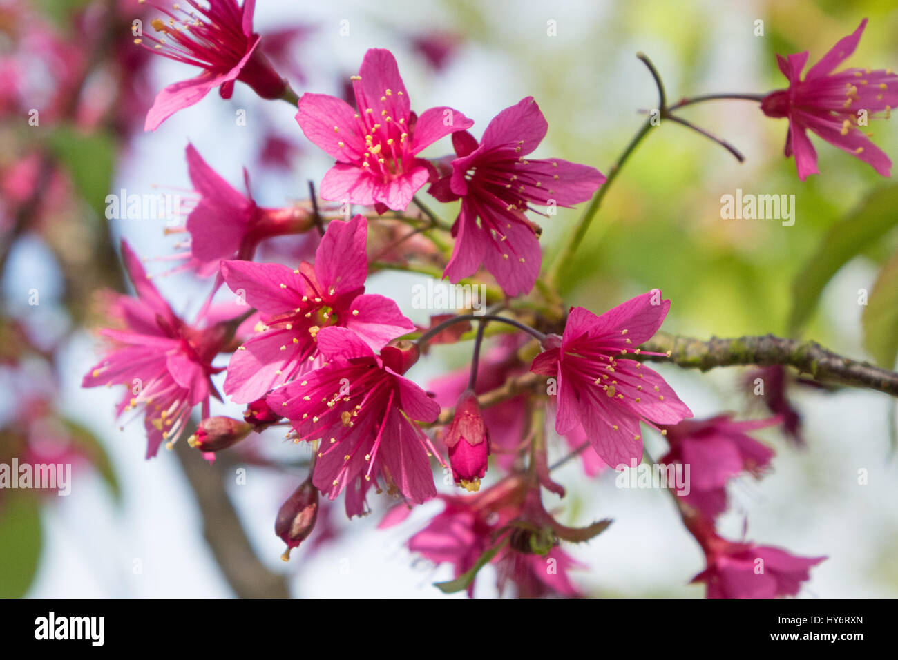Dark pink spring tree blossom stock photo 137218781 alamy dark pink spring tree blossom mightylinksfo