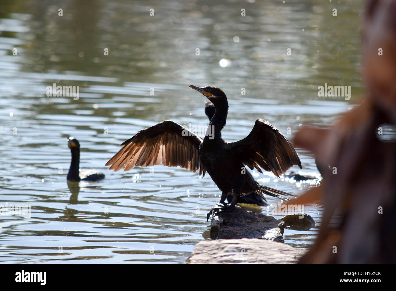 duck airs out wings - Stock Image