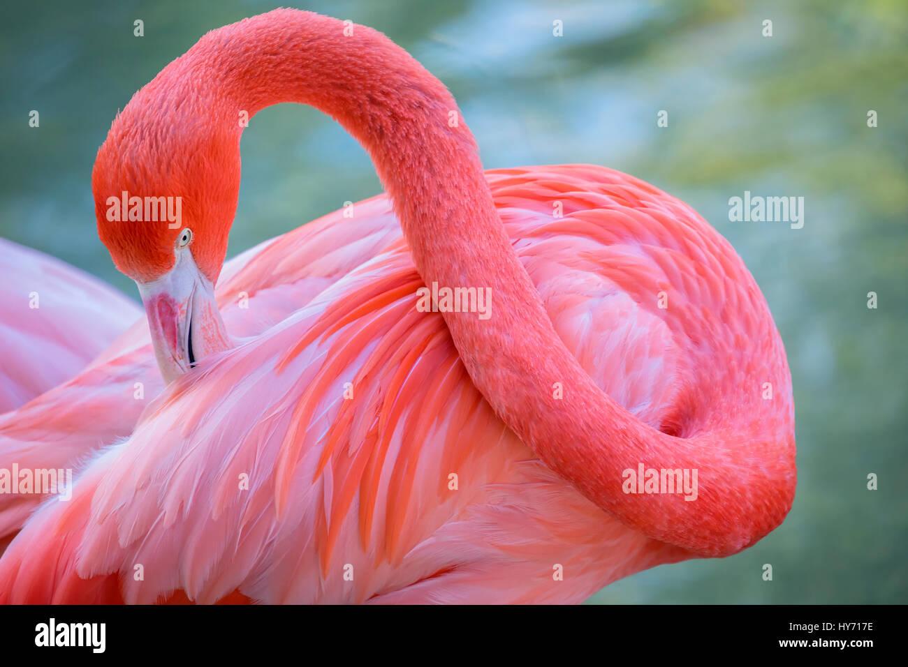 The colorful Caribbean Flamingo - Stock Image