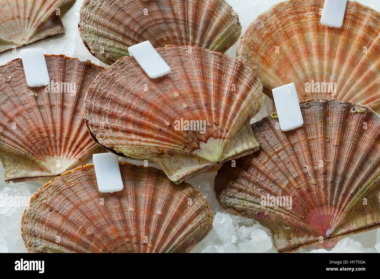 Fresh raw scallops on ice in the shell with clips close up - Stock Image