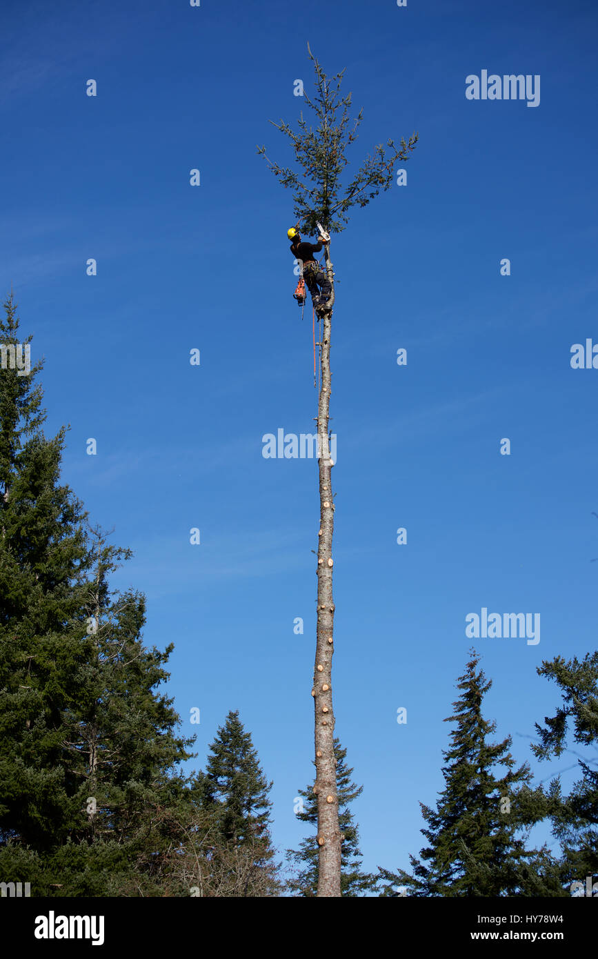 logger harnessed at the top of a Douglas fir tree - Stock Image
