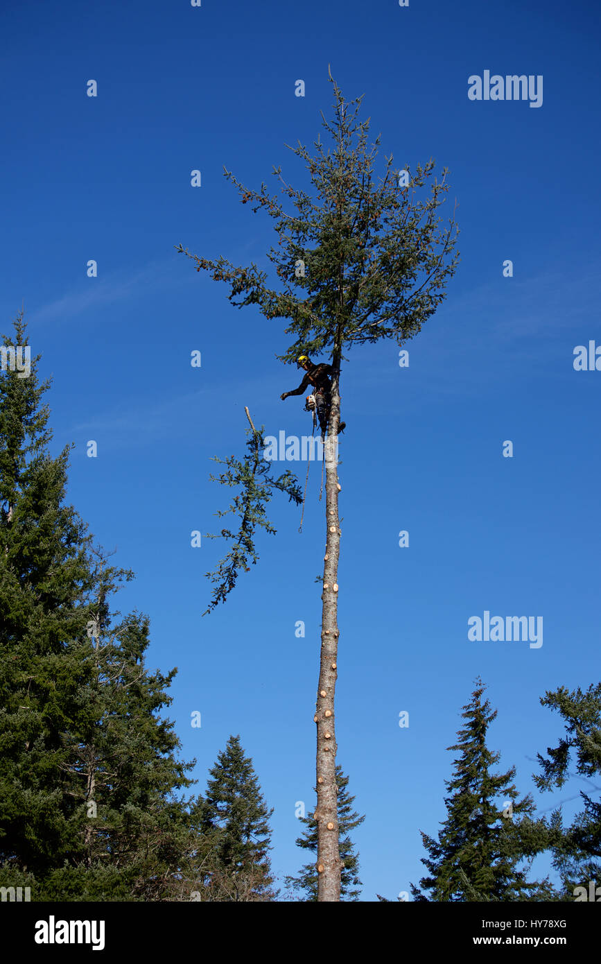 logger harnessed at the top of a Douglas fir tree Stock Photo
