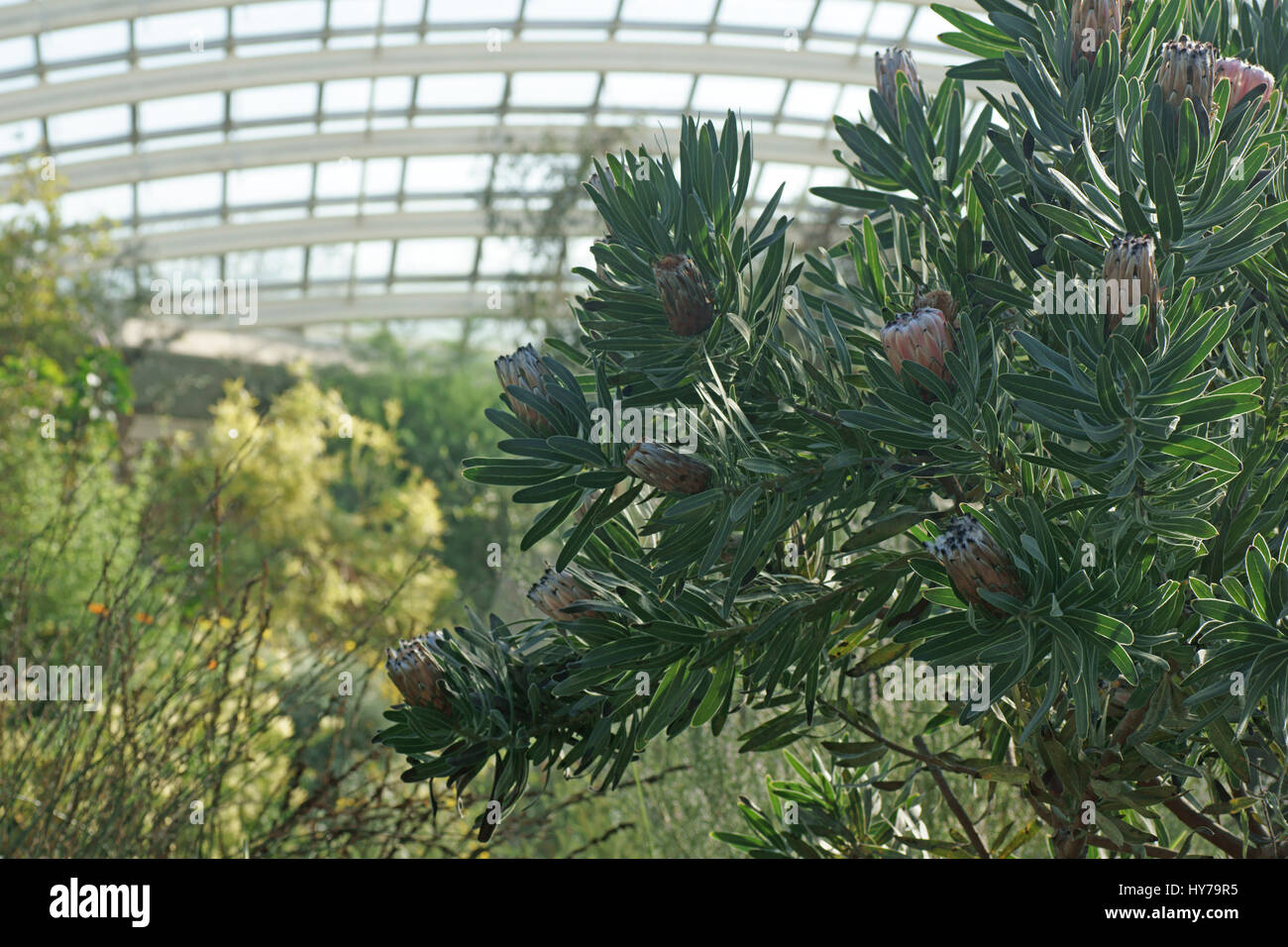 Protea in the Great glasshouse - Stock Image