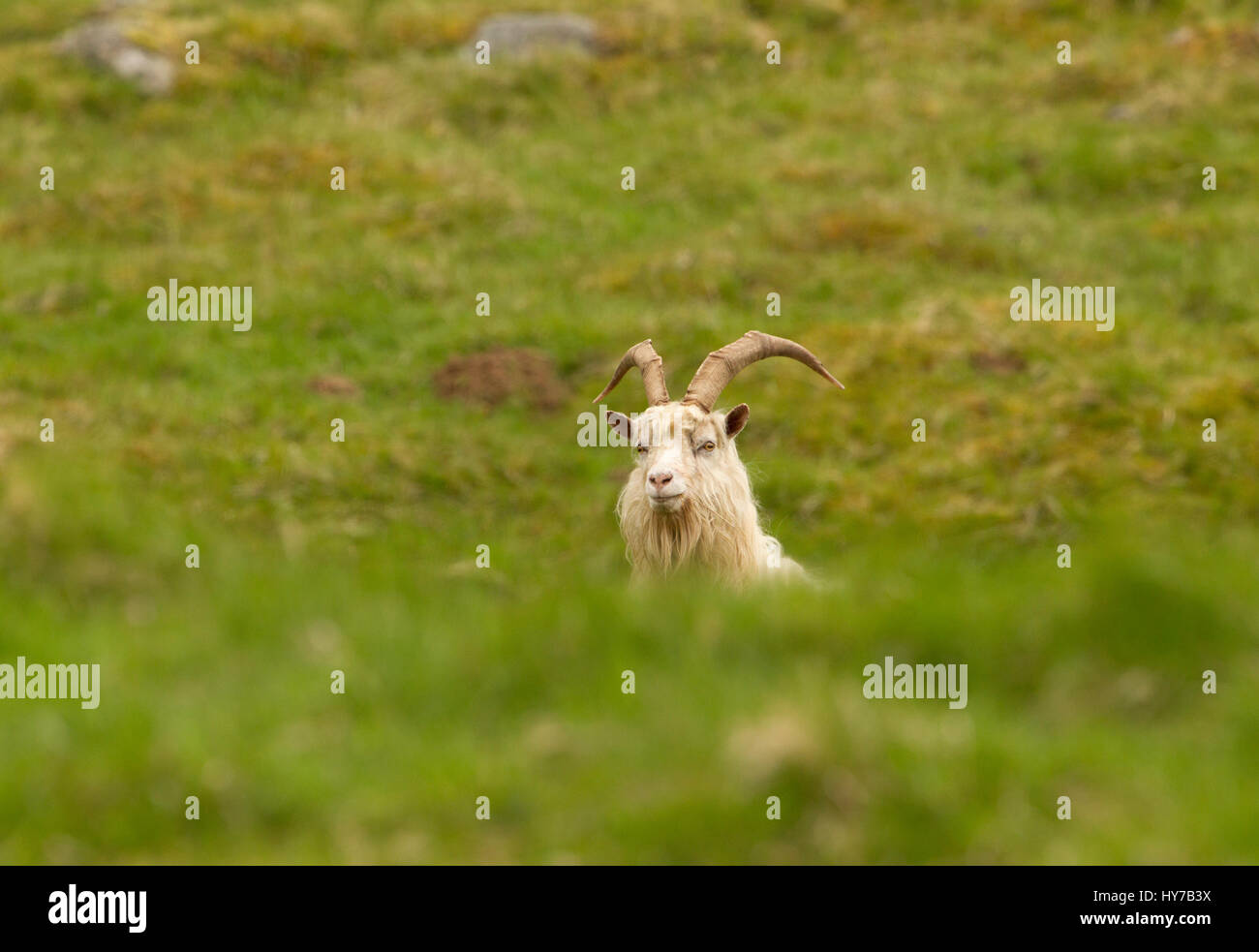 Feral Goat, single adult peering over grass mound.  Taken June. Findhorn Valley, Nr Tomatin, Scotland, UK. - Stock Image