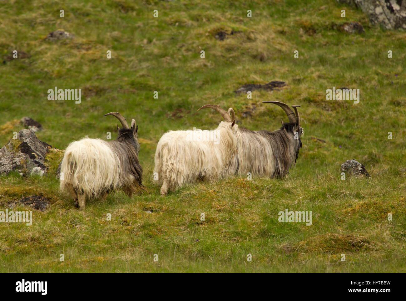 Feral Goats, back view of three adult walking on hillside. Taken June. Findhorn Valley, Nr Tomatin, Scotland, UK. - Stock Image