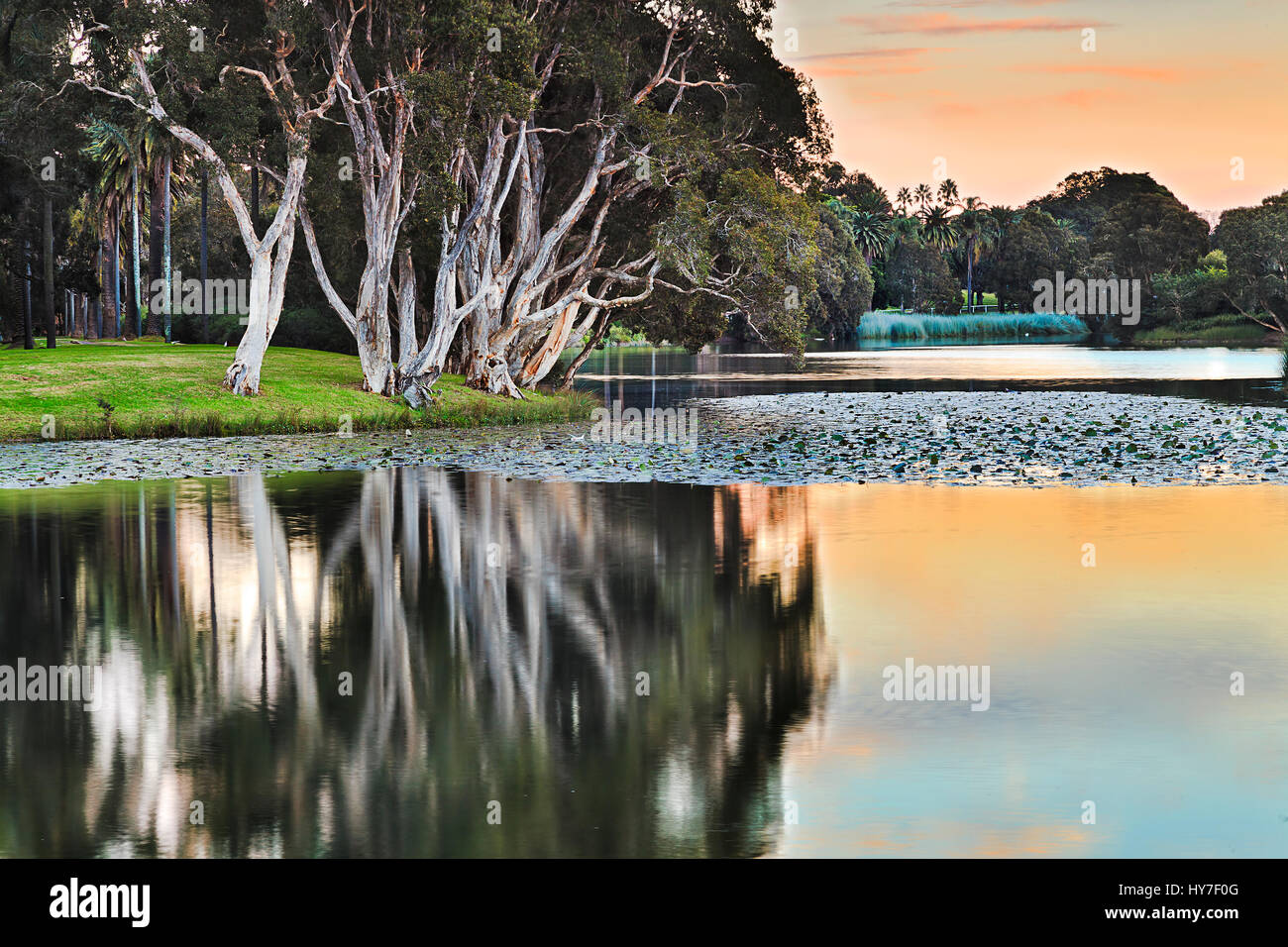 Sydney centennial park still water of pond and surrounding trees with paperbarks reflecting over water lilies at - Stock Image