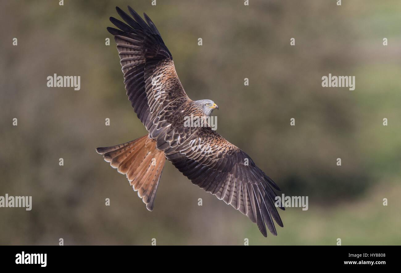 Red Kite - Stock Image