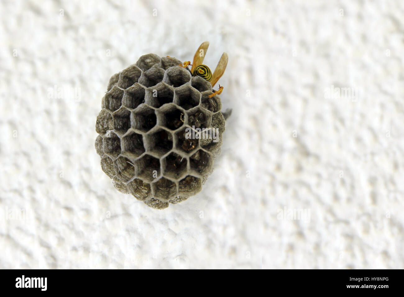 Comb Wasp Nest Stock Photos & Comb Wasp Nest Stock Images - Page 3 ...
