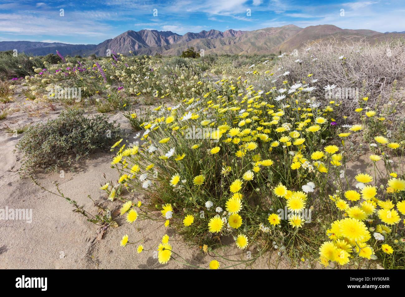 Desert dandelion, Malacothrix glabrata, Asteraceae, Anza Borrego SP - California - Stock Image