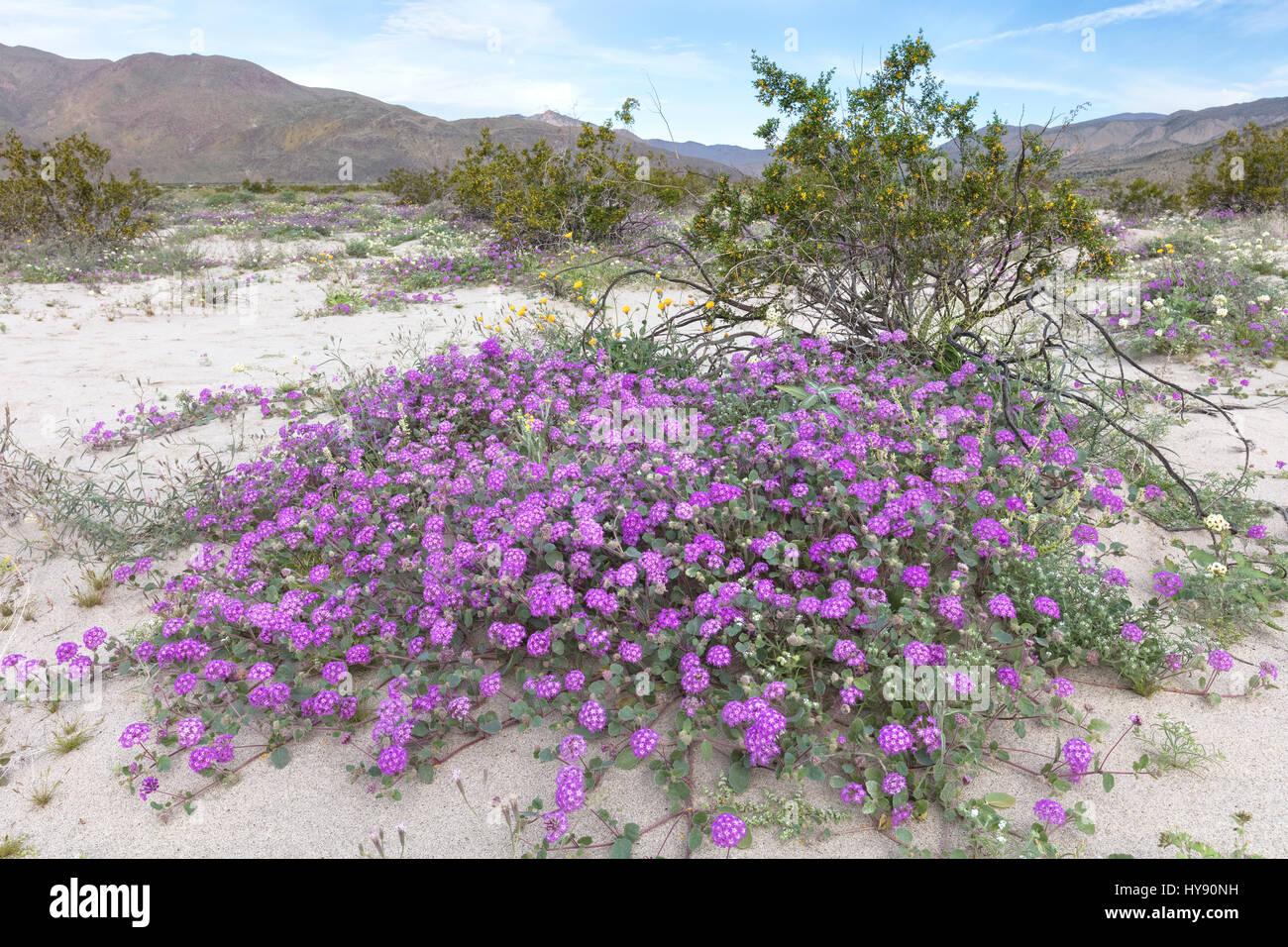 Desert Verbena, Anza Borrego, CA - Stock Image