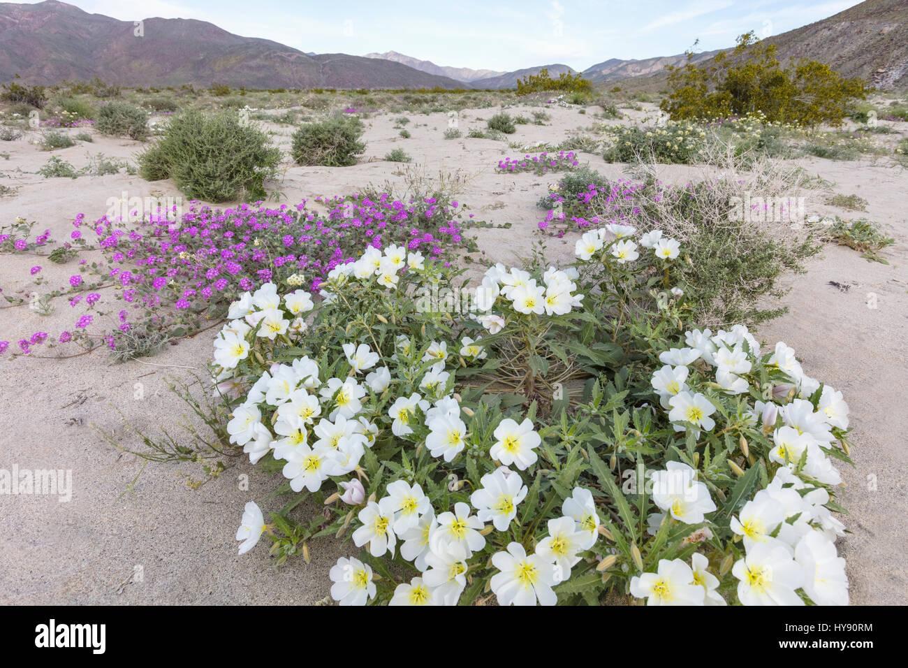 Dune primrose & Desert Sand Verbena - Anza Borrego SP - California - Stock Image