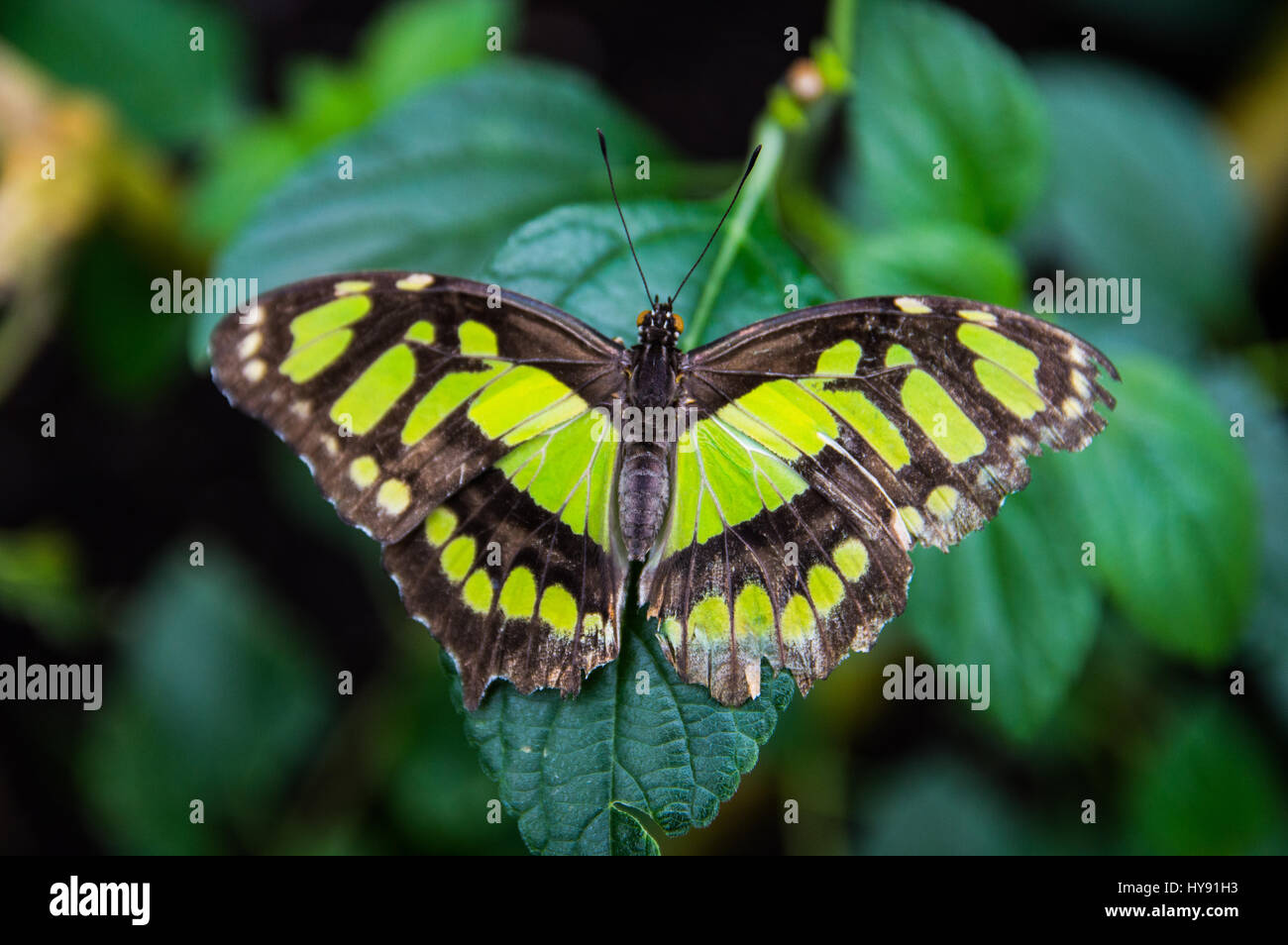 Malachite Butterfly on Leaf - Stock Image