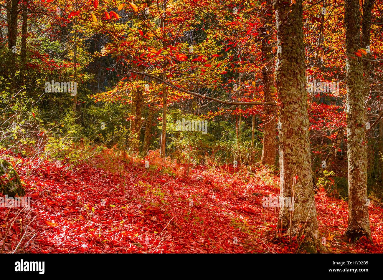 The chestnut forest of El Tiemblo - El castañar de El Tiemblo, Ávila, Castilla y León, Spain, Europe Stock Photo
