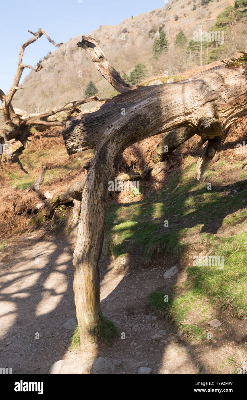 Money or wishing tree on Coffin Route from Rydal to Grasmere, Cumbria, England, UK - Stock Image