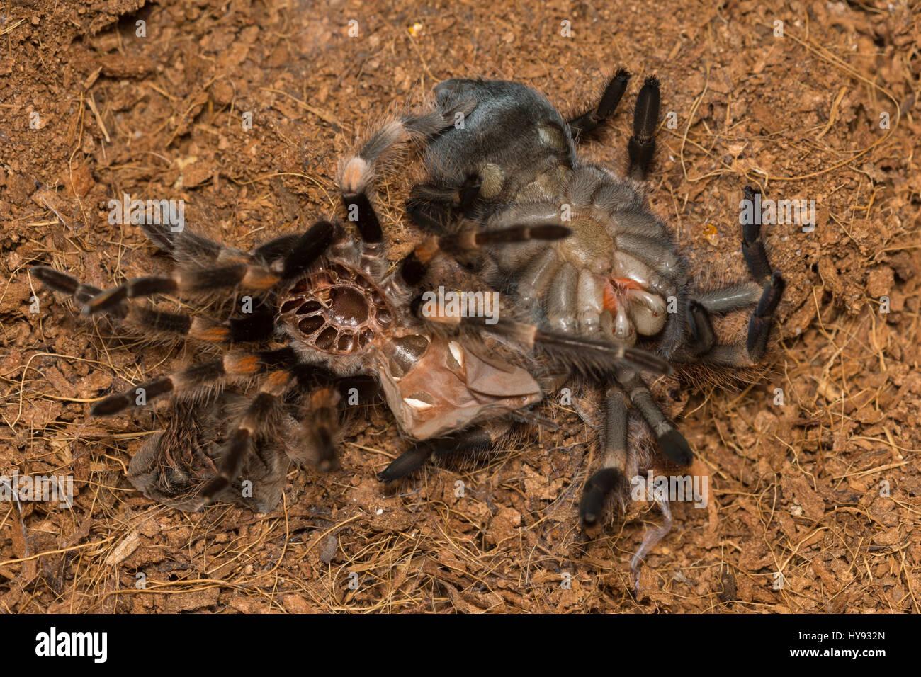 Mexican Redknee Tarantula Shedding Its Skin Brachypelma Smithi
