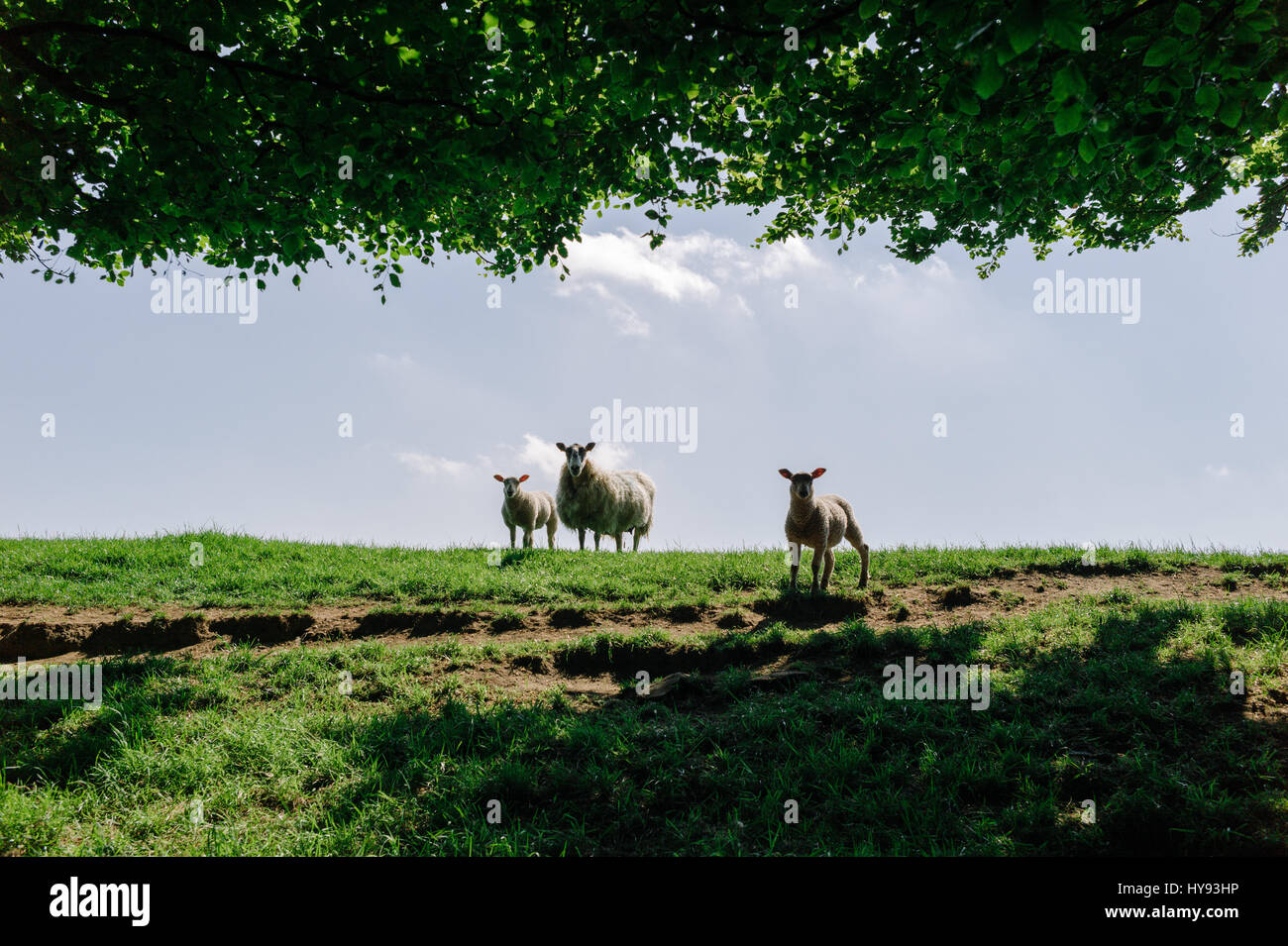 Two lambs with their mother in a green field in Spring. - Stock Image