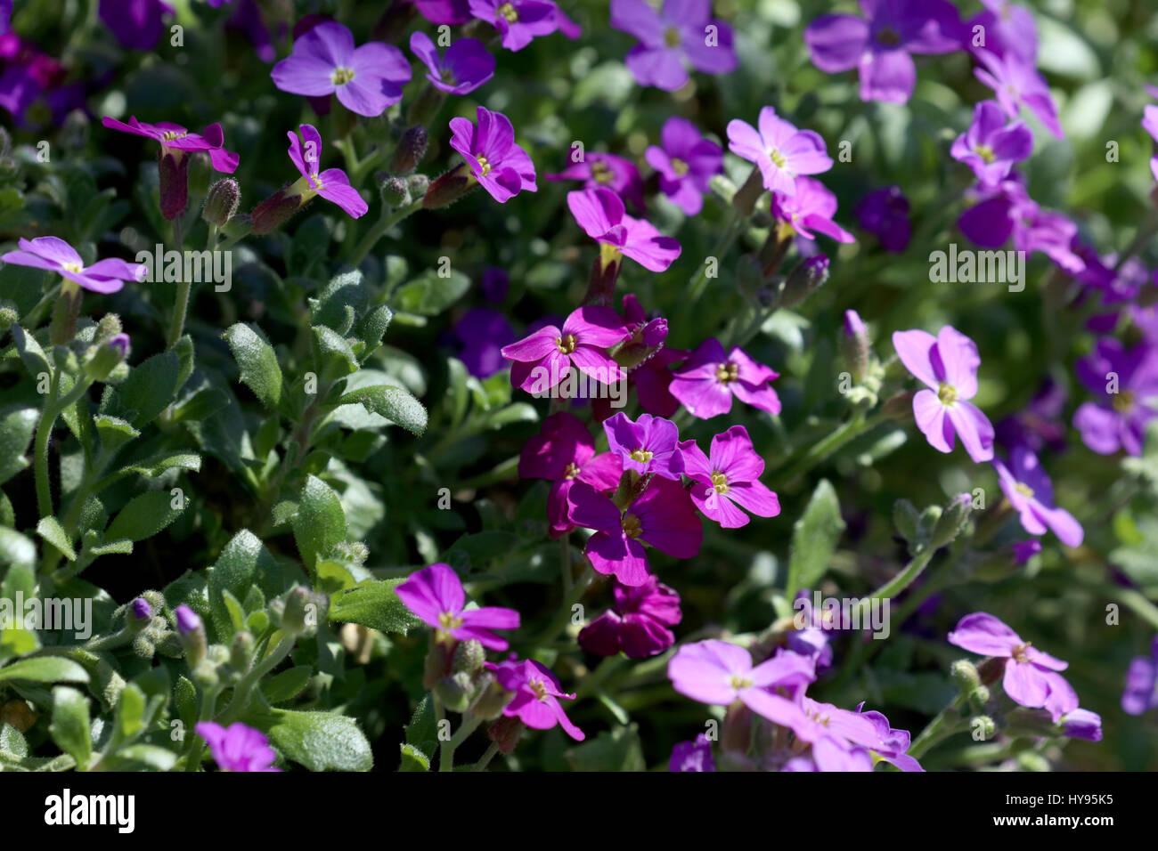 Blühendes Blaukissen Aubrieta - Stock Image