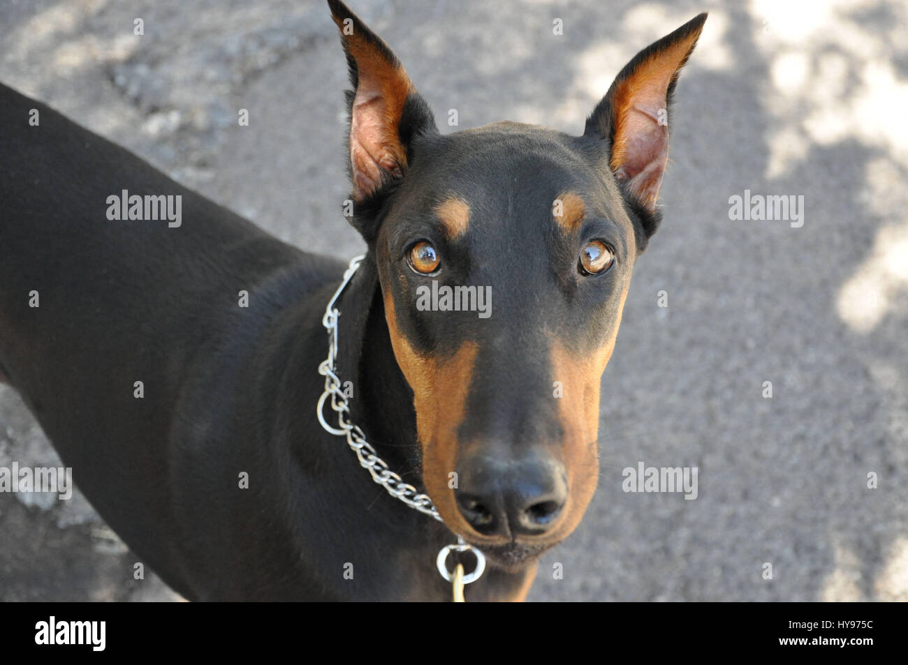 Cute face of a doberman pinscher dog. - Stock Image