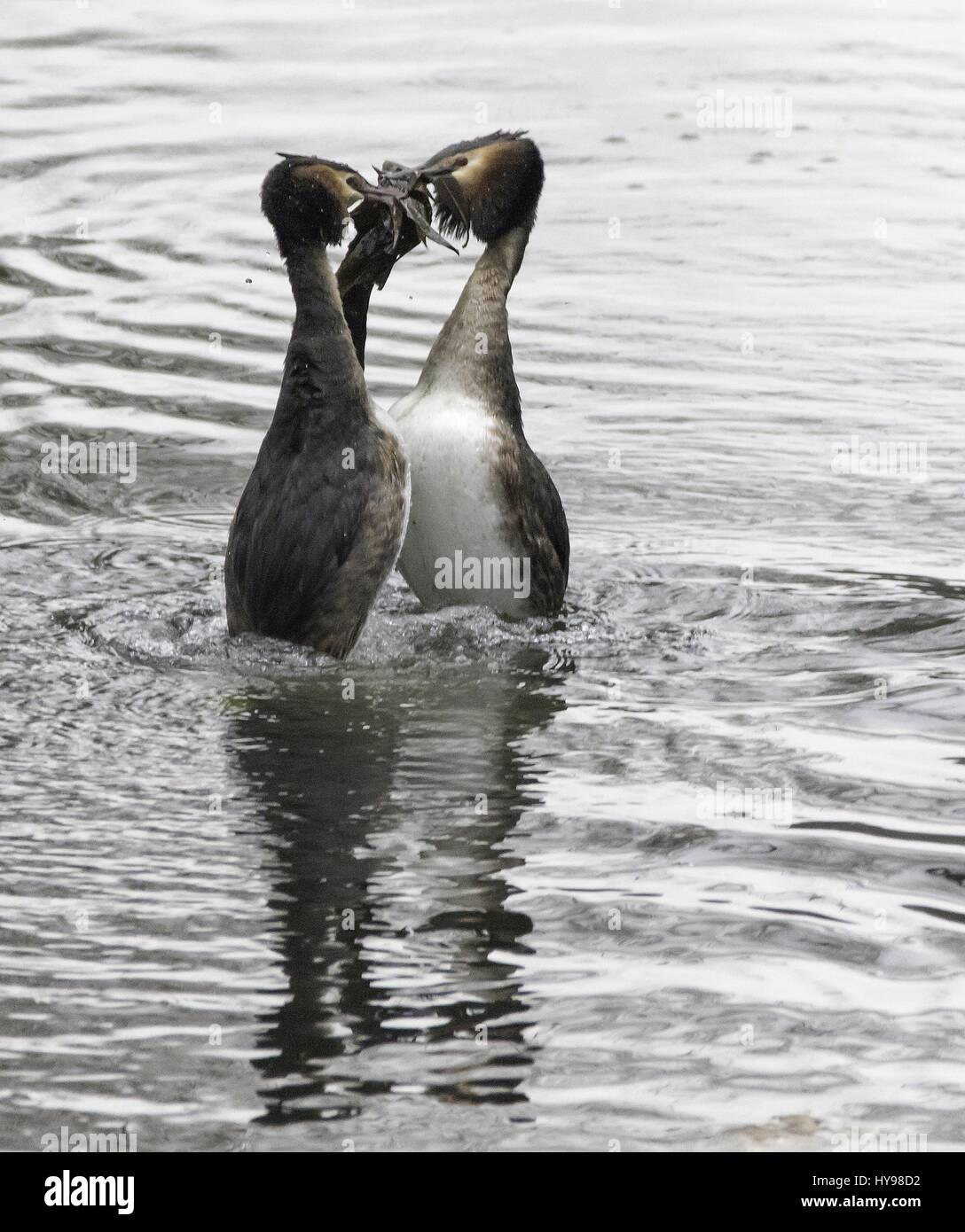 Great Crested Grebes with nesting material in display, february 2017 | usage worldwide - Stock Image