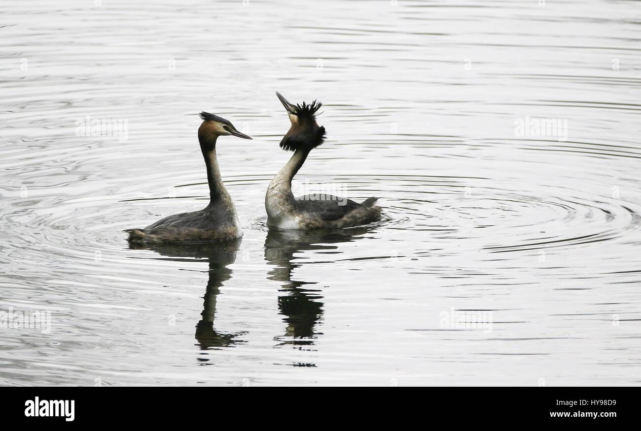 Great Crested Grebes display, february 2017 | usage worldwide - Stock Image