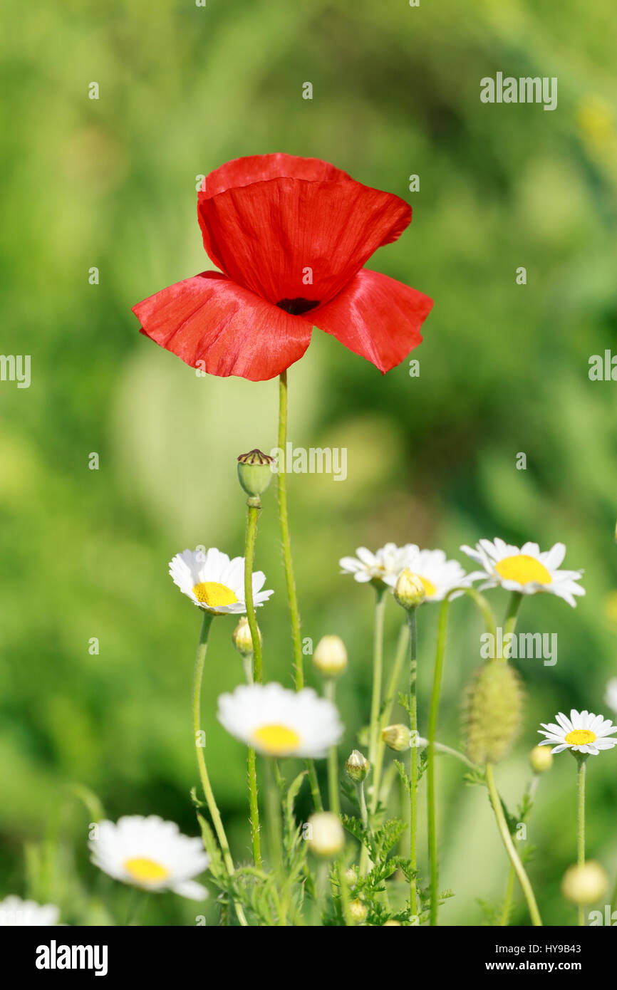 Lonely flower of wild red poppy on blue sky background with focus on flower - Stock Image