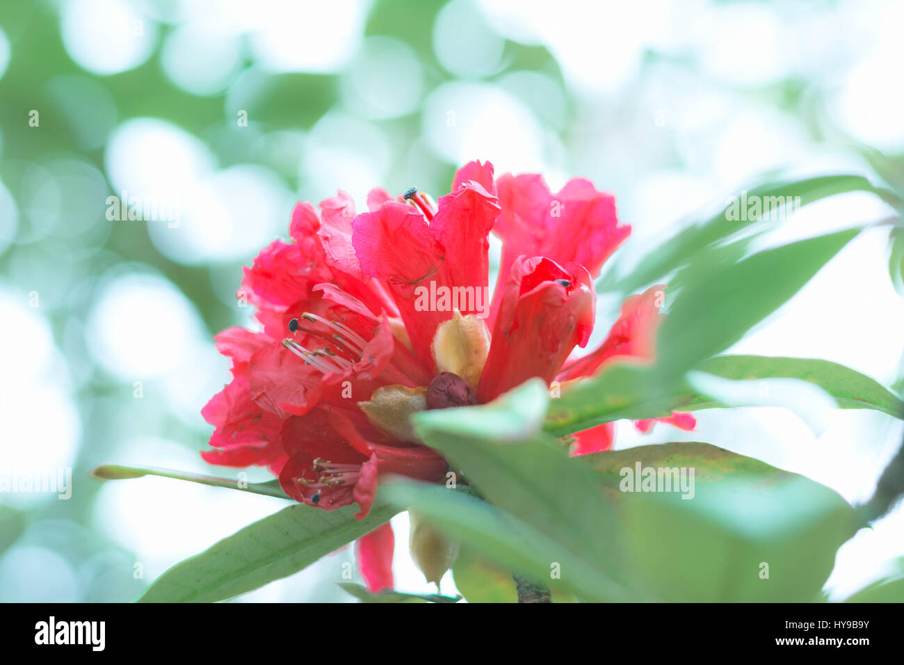 Colorful flower Rhododendron arboreum in spring time for background - Stock Image
