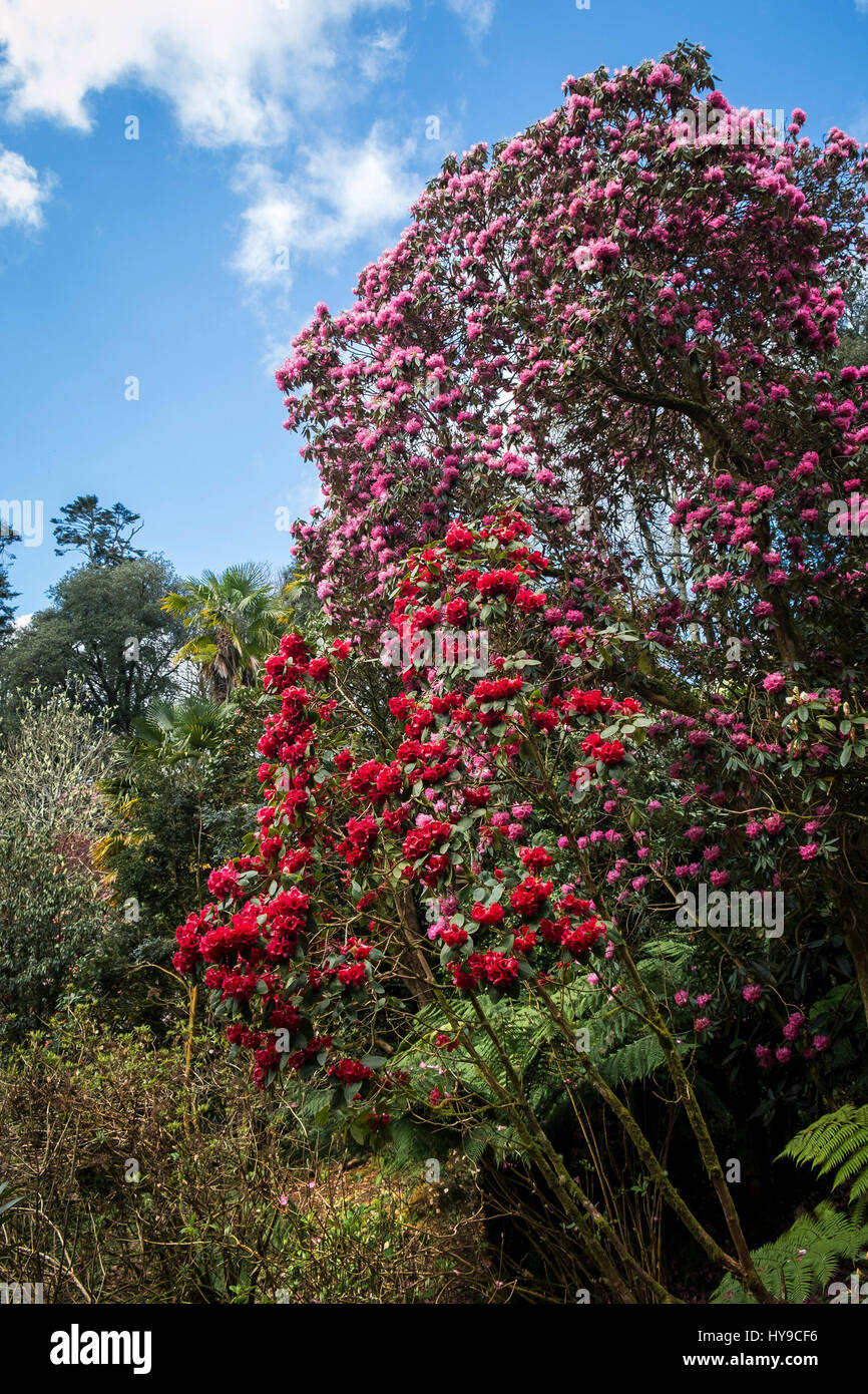 Trebah Gardens Sub-Tropical Rhododendron Rhododendrons Flowers Blooms Red Pink Tourism Attraction Pretty Picturesque - Stock Image