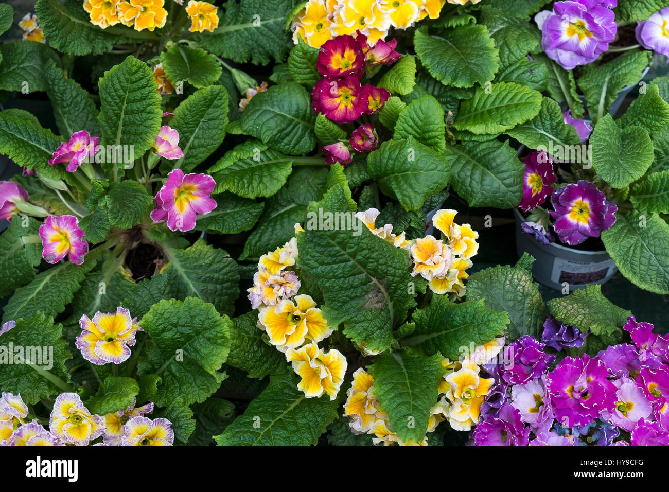 Flower Colourful Colorful Primula Primulas Cultivars Blooms Vibrant Petals Colours Colors Leaves Garden Gardening - Stock Image