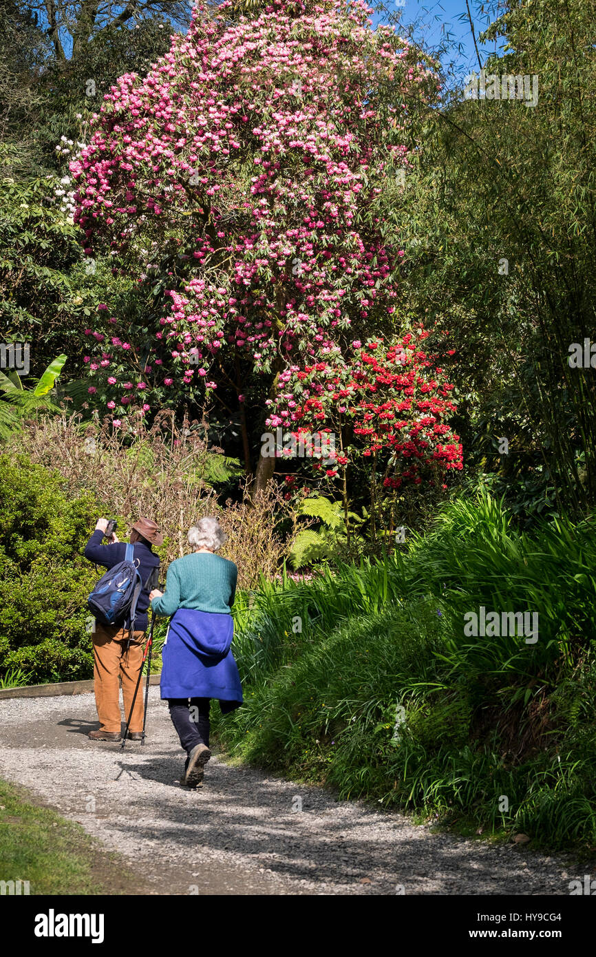 Trebah Garden Visitors Walking Rhododendron Sub-Tropical Flowers Trees Shrubs Blooms Vibrant Path Pathway Gardening - Stock Image