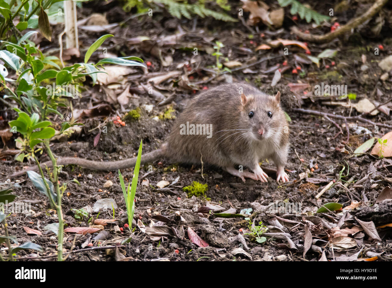Brown rat (Rattus norvegicus) looking at camera. Common rodent foraging amongst plants in botanic garden, with impressive - Stock Image