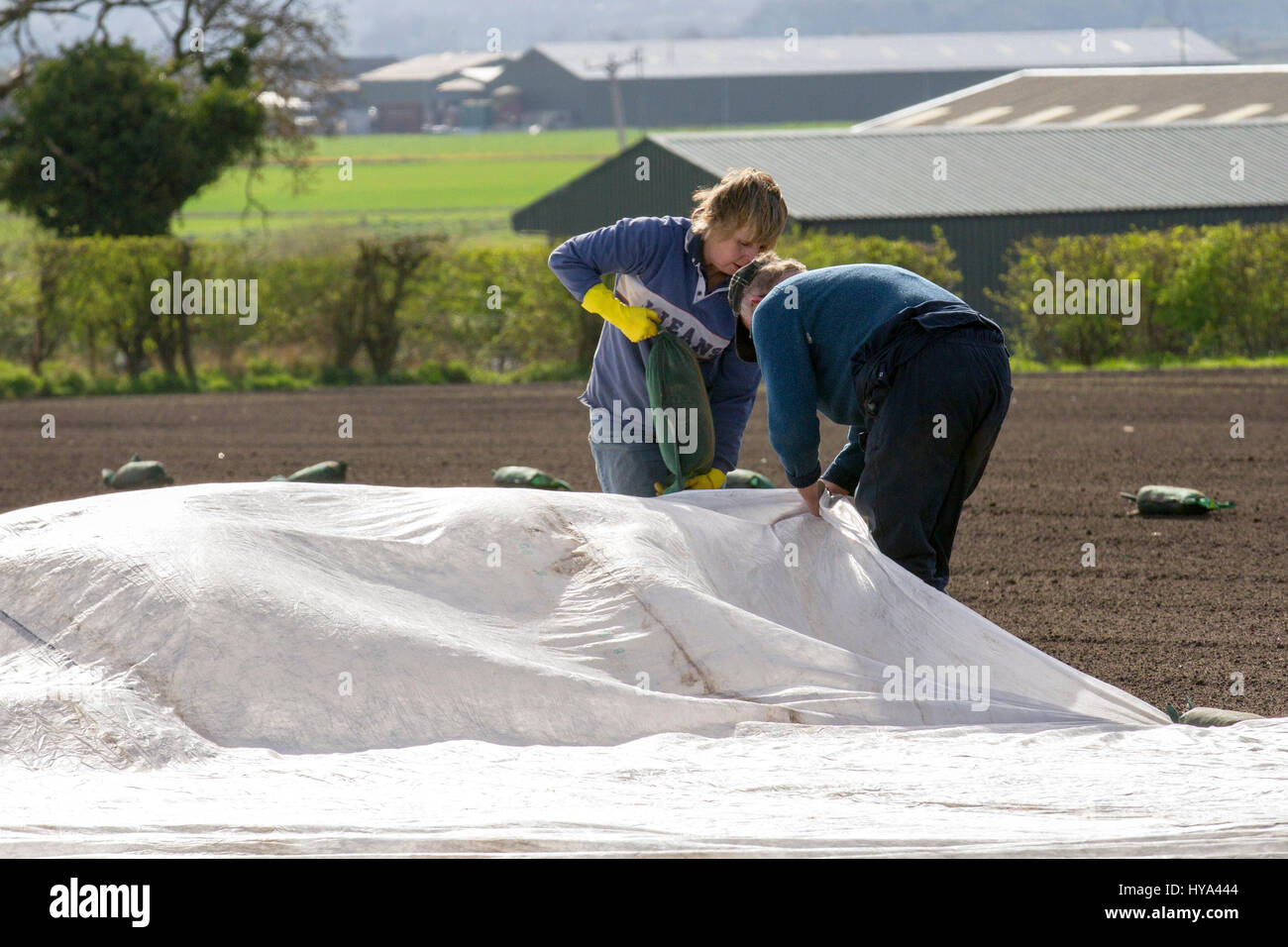 Burscough, Lancashire, UK. UK Weather. 3rd April, 2017. Sunny with light winds enable newly planted crops to be - Stock Image