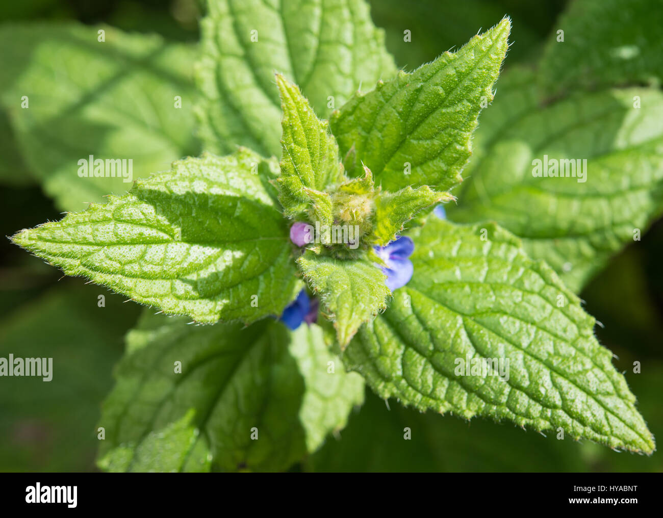 Green Alkanet leaves with flowers - Stock Image
