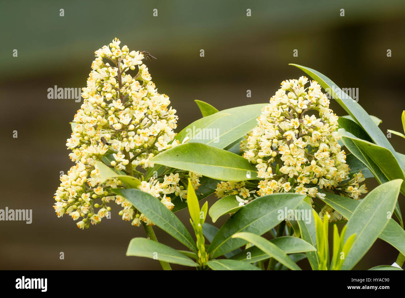 Scented spring flower head of the hardy evergreen shrub skimmia scented spring flower head of the hardy evergreen shrub skimmia japonica kew white mightylinksfo