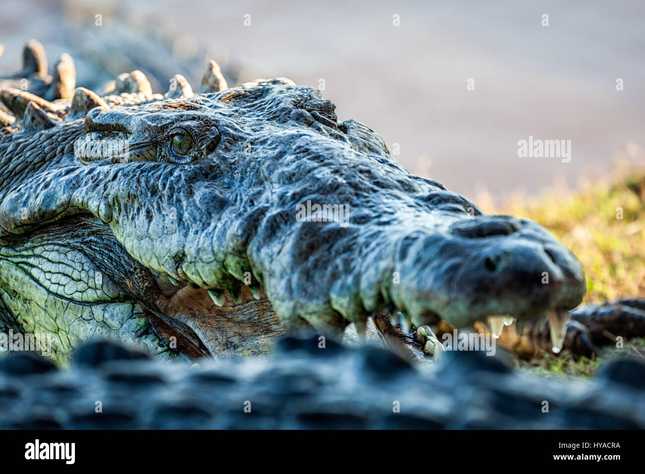 Close up of a crocodile near San Blas, Nayarit, Mexico. Stock Photo