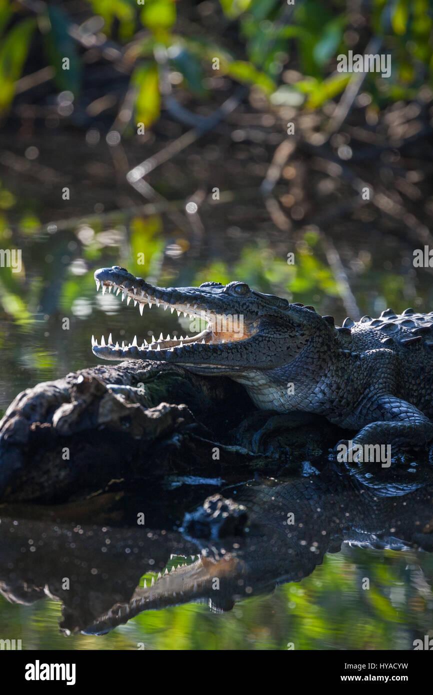 Tovara Natural Reserve in San Blas, Mexico. - Stock Image