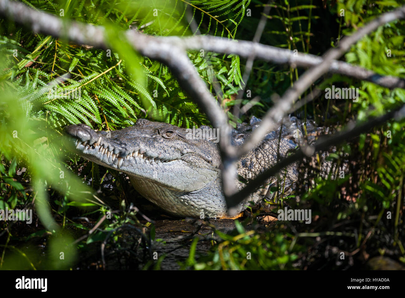 A large, wild crocodile along the river in the Tovara Natural Reserve in San Blas, Mexico. - Stock Image