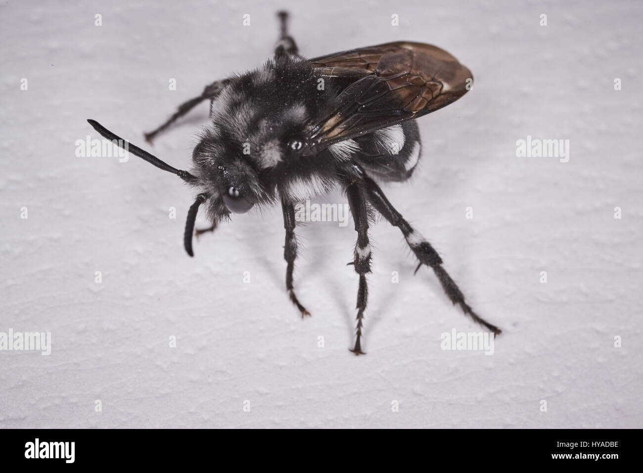 Black fly macro - Stock Image